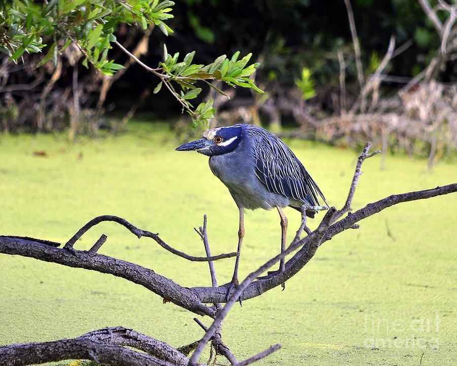 Heron Photograph - Night-heron by Al Powell Photography USA