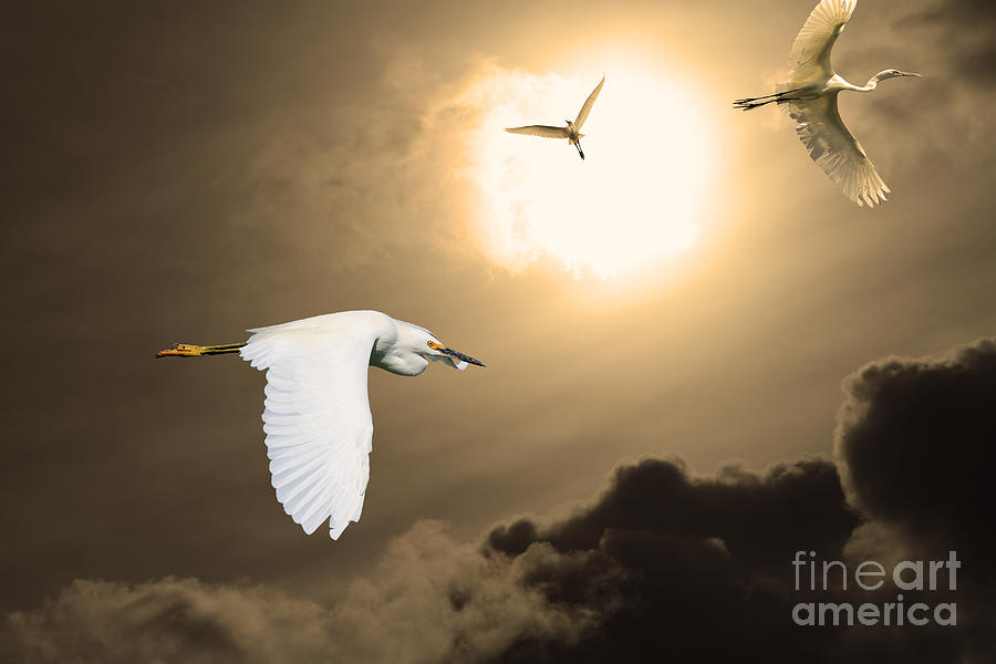 Sepia Photograph - Night Of The White Egrets . Partial Sepia by Wingsdomain Art and Photography