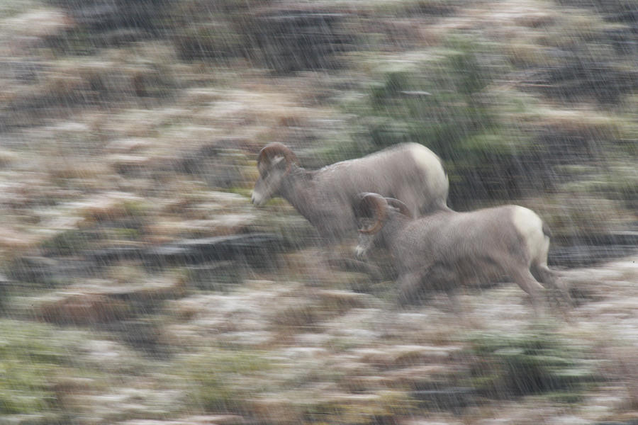 Nimble Bighorn Sheep Sprint Over Steep Photograph by Michael Melford