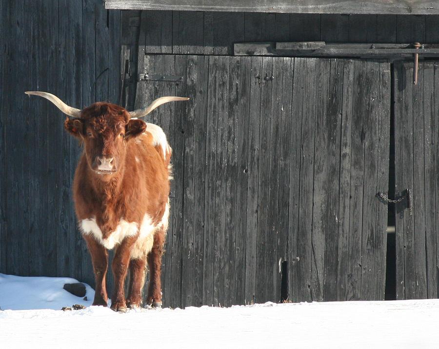Bull Photograph - No Bull Bull by Ted Albert