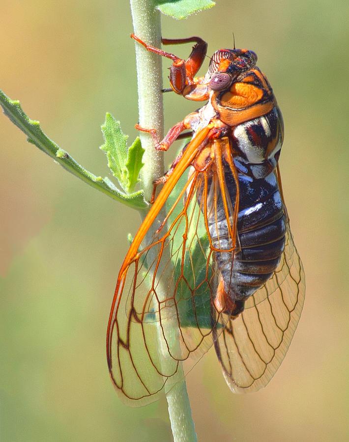 Cicada Photograph - Noisy Cicada by Shane Bechler