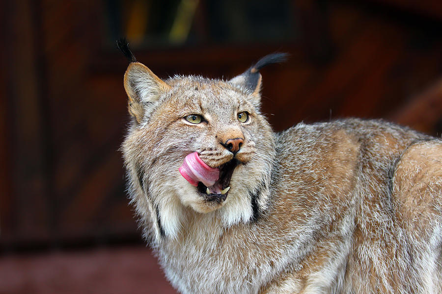 Alert Photograph - North American Lynx by Paul Fell