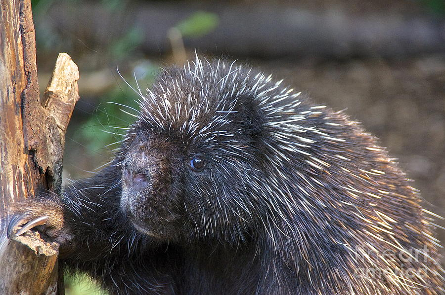 North American Porcupine Photograph by Sean Griffin  North American ...