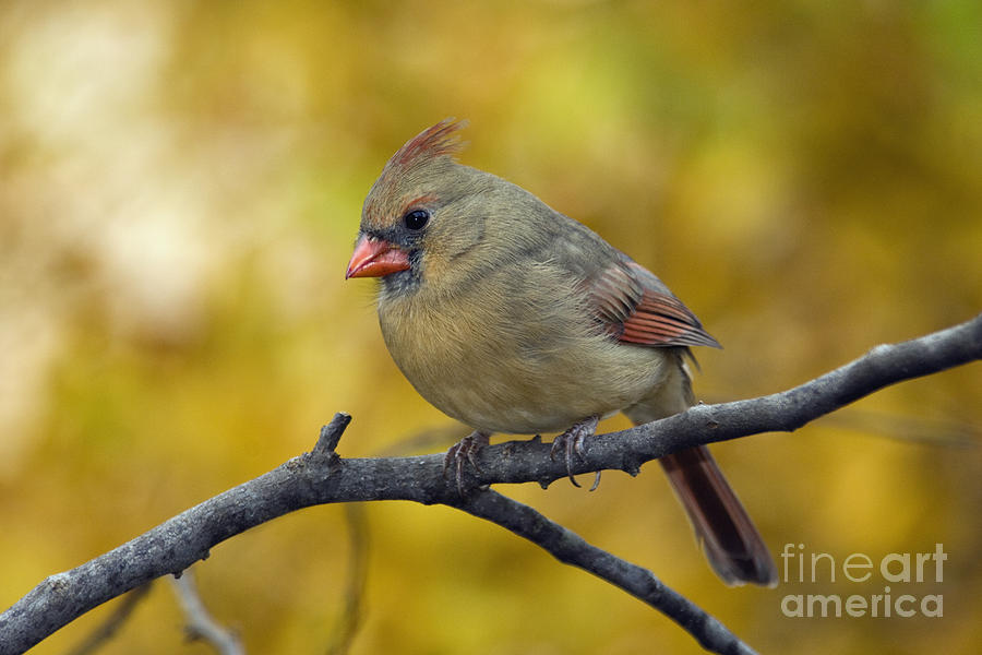 Female Photograph - Northern Cardinal Female - D007849-1 by Daniel Dempster