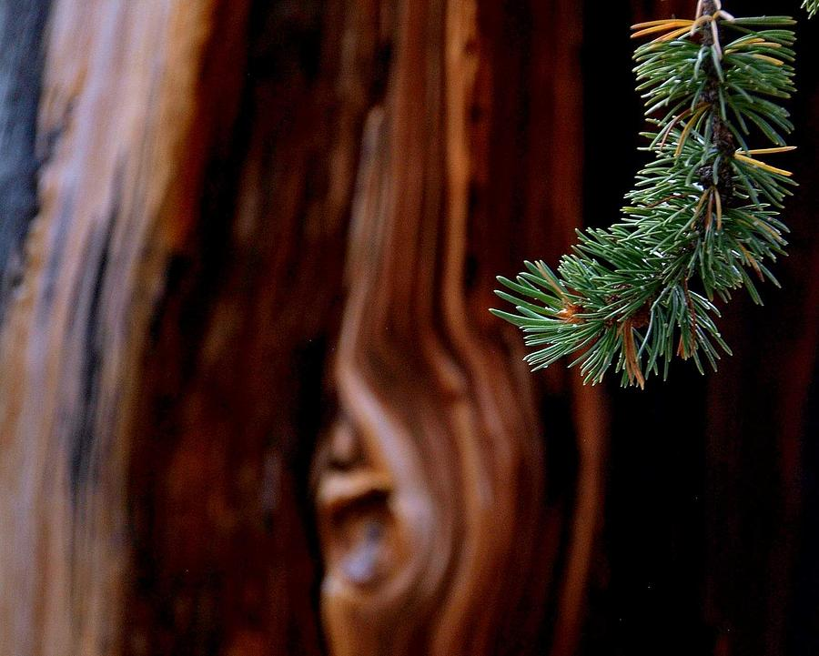 Fir Trees Photograph - Northern Exposure.. by Al  Swasey