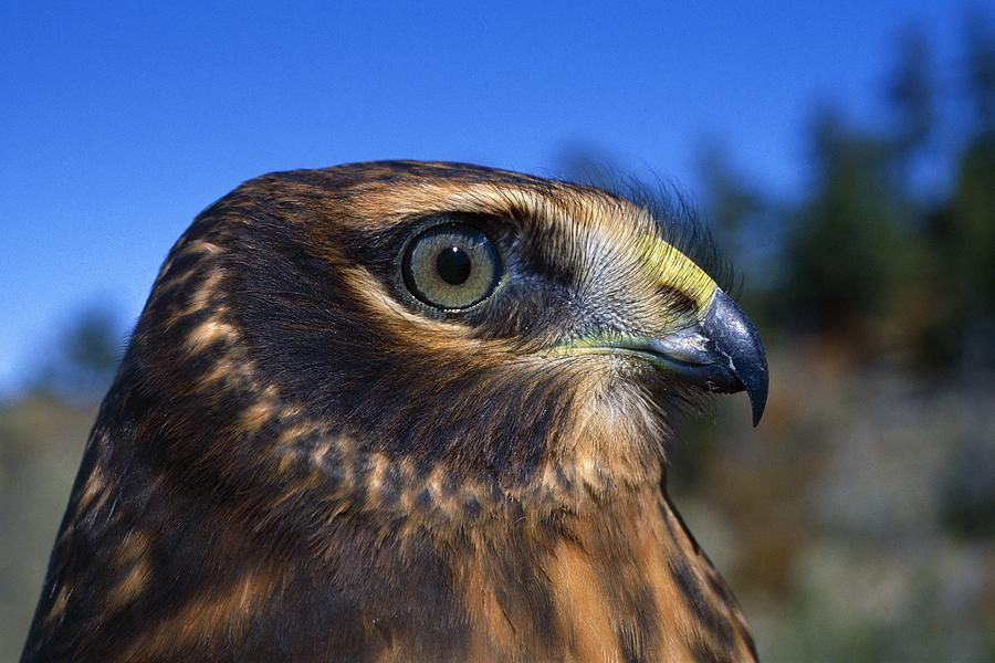 Outdoors Photograph - Northern Harrier Raptor In Profile by Natural Selection David Ponton