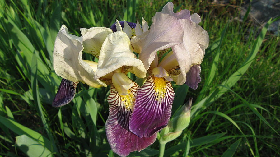 Iris Pyrography - Northern Iris  by Waldemar Okon