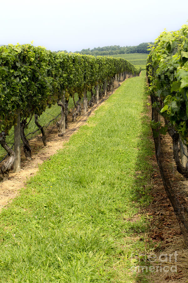 Wine Photograph - Northfork Vineyard by Leslie Leda