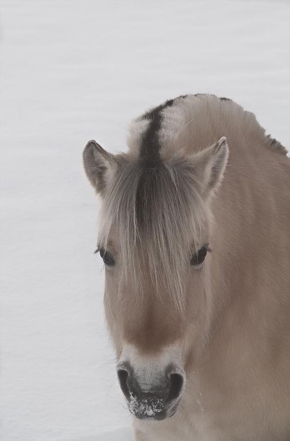 Norwegian Fjord Horse Photograph - Norwegian Fjord by Odd Jeppesen