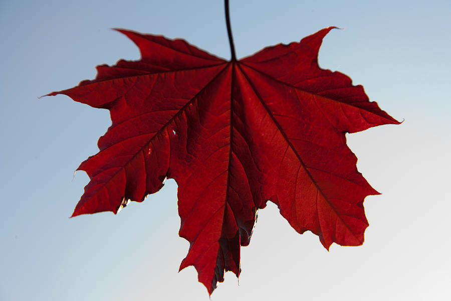 Norwegian Maple Leaf Photograph By Christopher Mcphail
