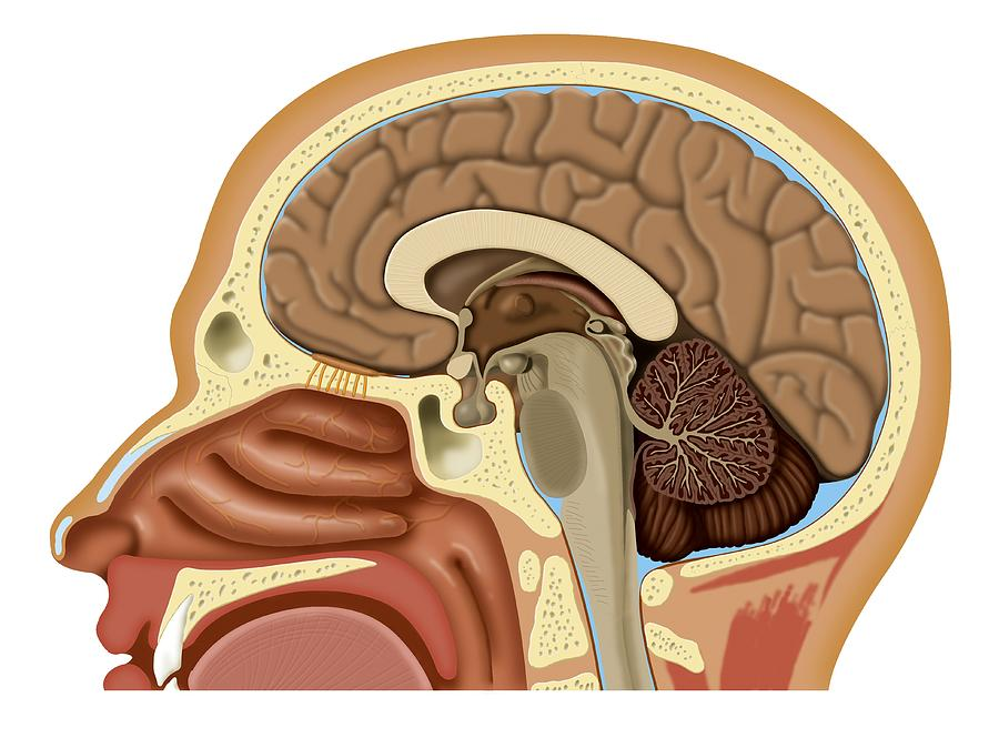 Nose And Brain Anatomy Artwork Photograph By Art For Science