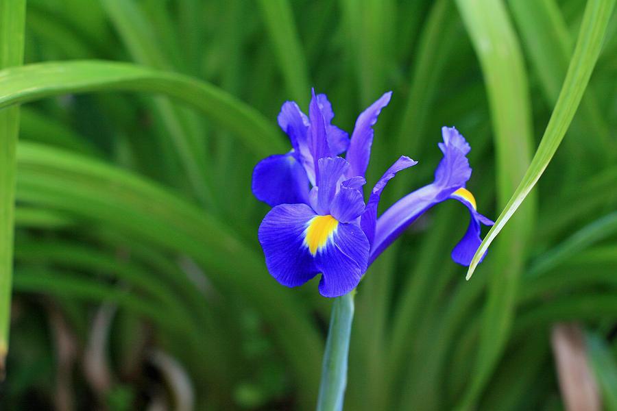 Iris Photograph - Not A Cutout by Wendi Matson
