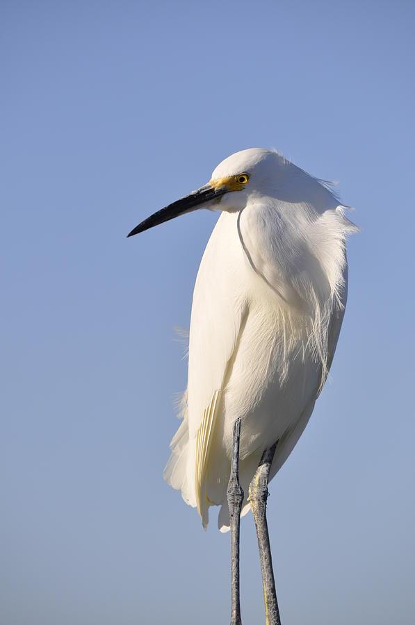 Snowy Egret Photograph - Not Ruffled by Christine Stonebridge