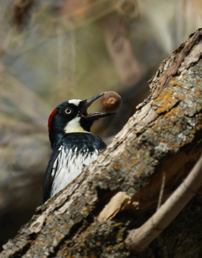 Woodpecker Photograph - Now Where Do I Put This One by Ernie Echols