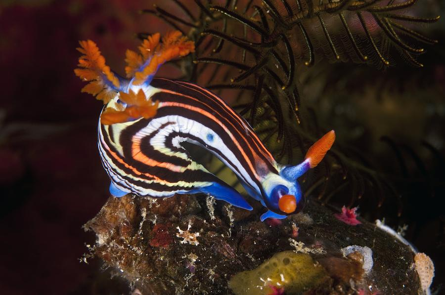 Nudibranch Photograph - Nudibranch by Matthew Oldfield