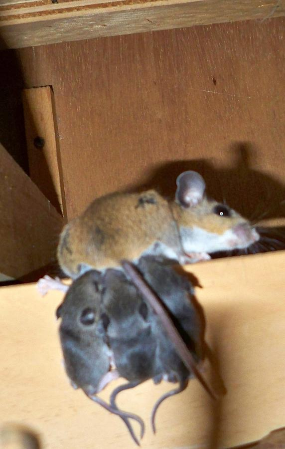 Nursing Photograph - Nursing Baby Mice by Danielle Mell