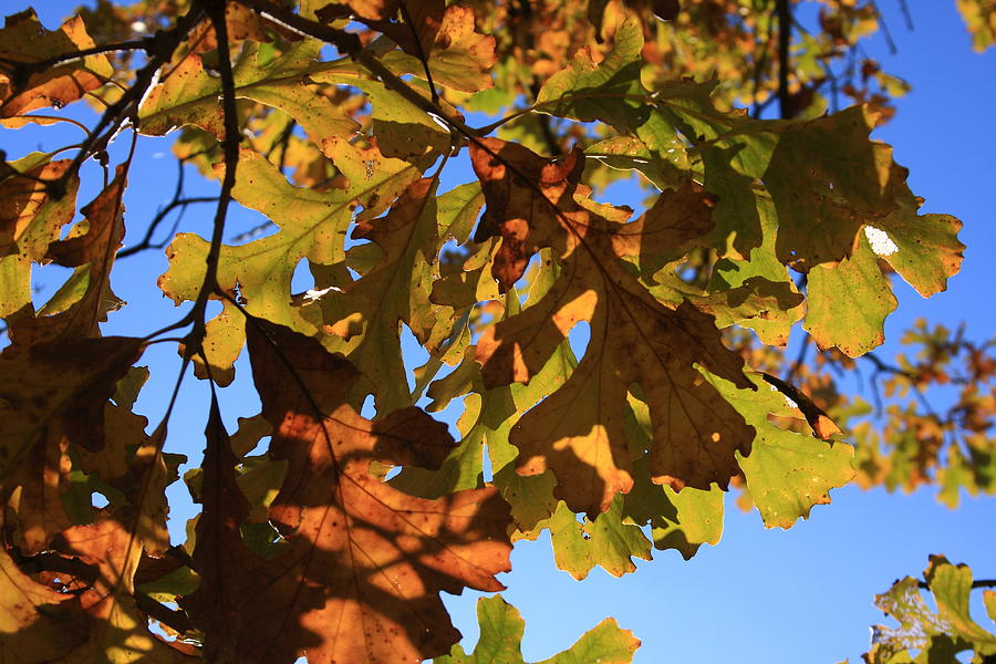 Oak Photograph - Oak Leaves With Backlighting by Lyle Hatch