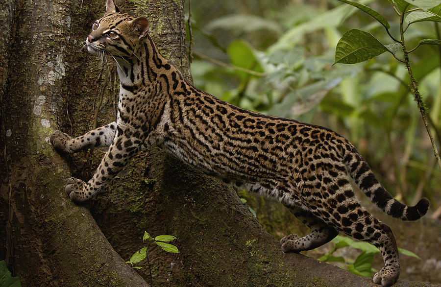 Ocelot Leopardus Pardalis Climbing Photograph By Pete Oxford