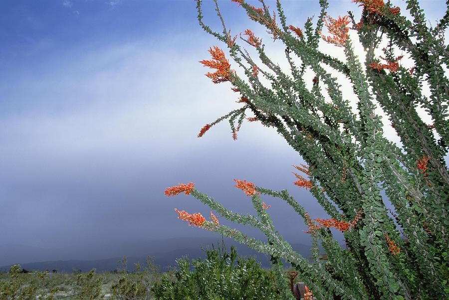 Ocotillo Fouquieria Splendens Cactus Photograph by Konrad Wothe