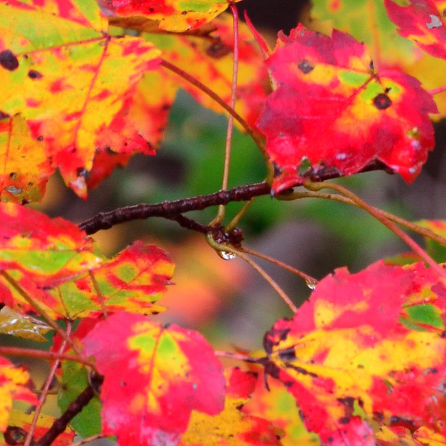 New England Photograph - October Maple by Mandi Howard