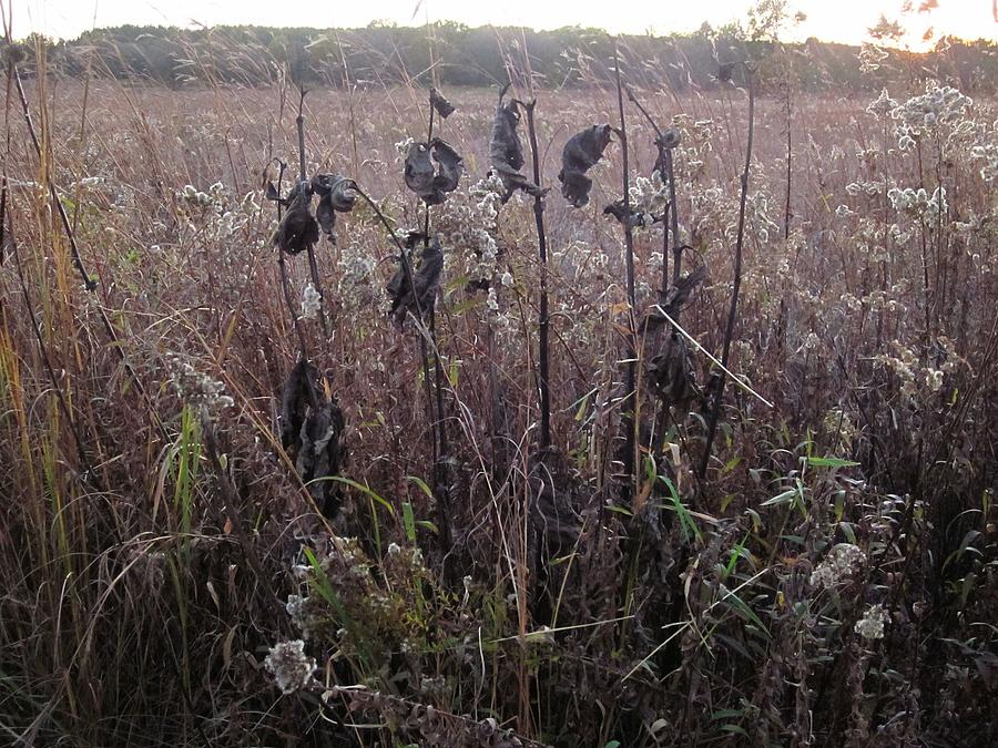 October Milkweed and Goldenrod by Sherry Oliver