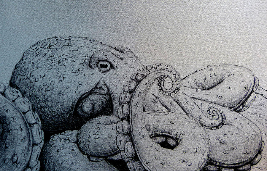 octopus drawing octopus by anthony nold