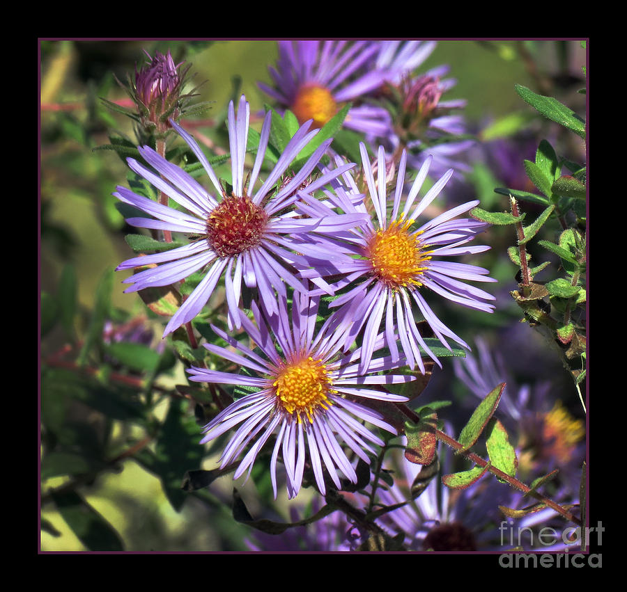 Aster Photograph - Odd Aster Out by Darleen Stry