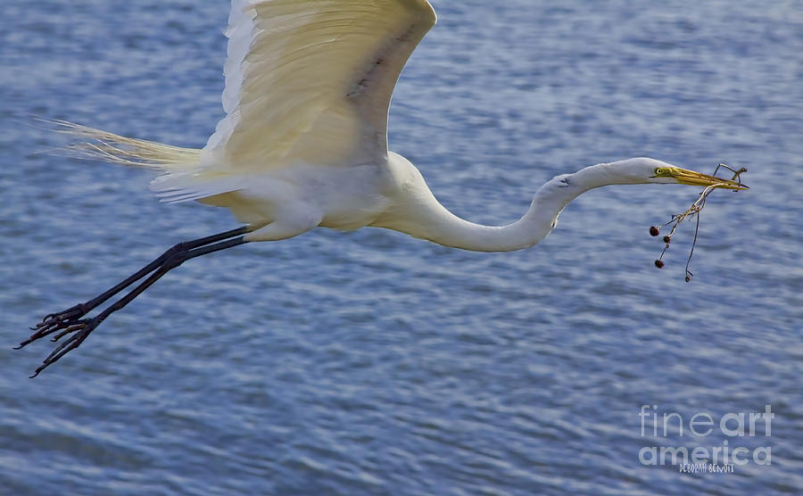Egret Photograph - Off To The Nest by Deborah Benoit