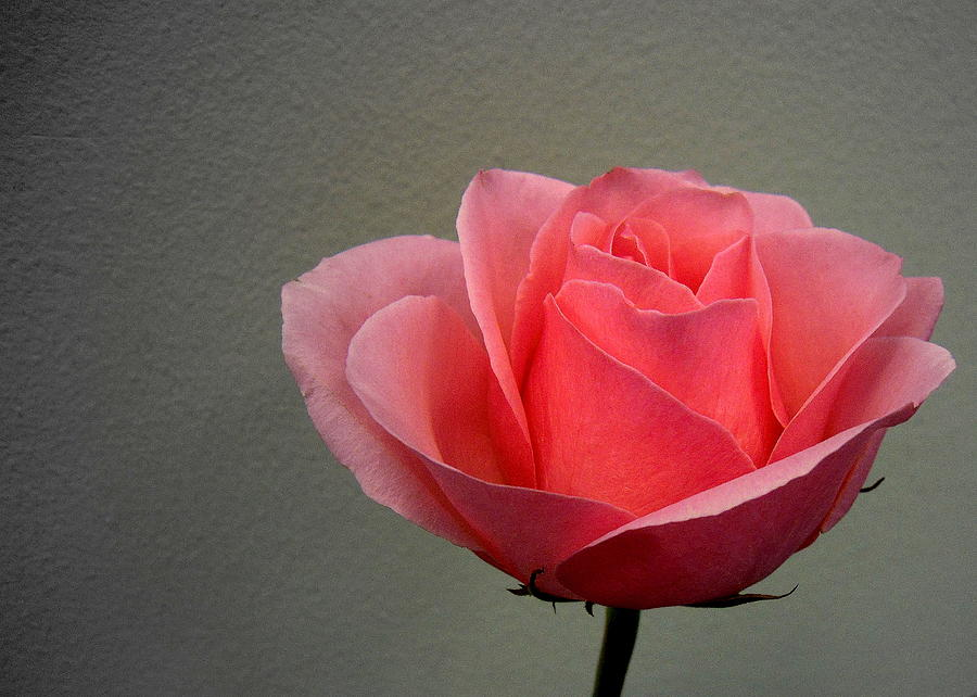 Nature Photograph - Office Rose by Al Cash