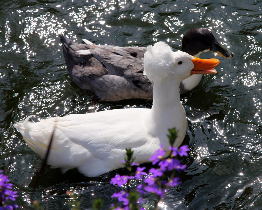 Ducks Photograph - Oh Happy Day by Karen Wiles