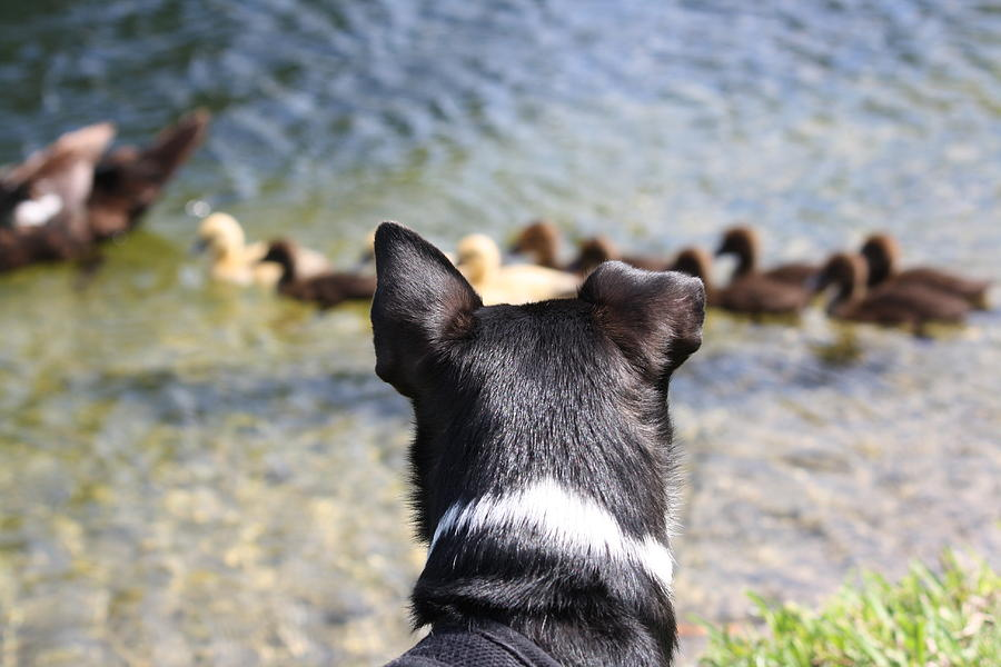 Dogs Photograph - Oh He Wants To Play With Ducks by Andrea  OConnell