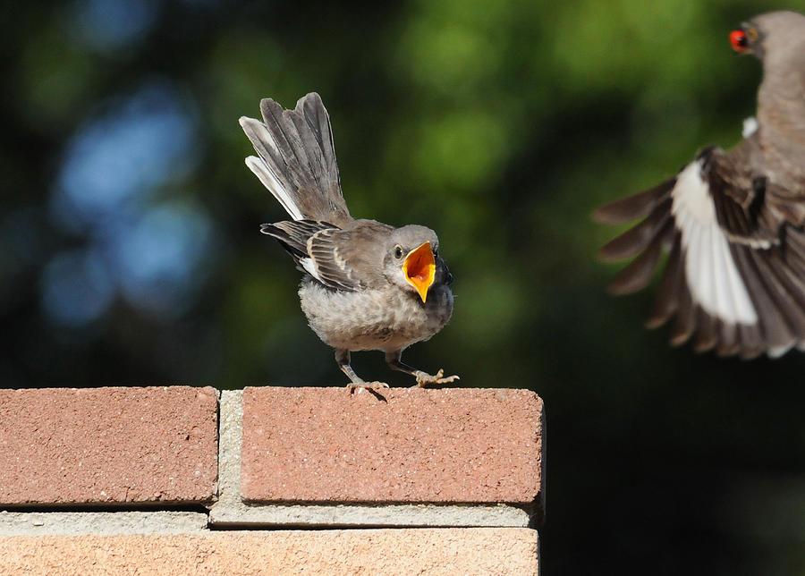Birds Photograph - Oh...so Demanding by Lynn Bauer