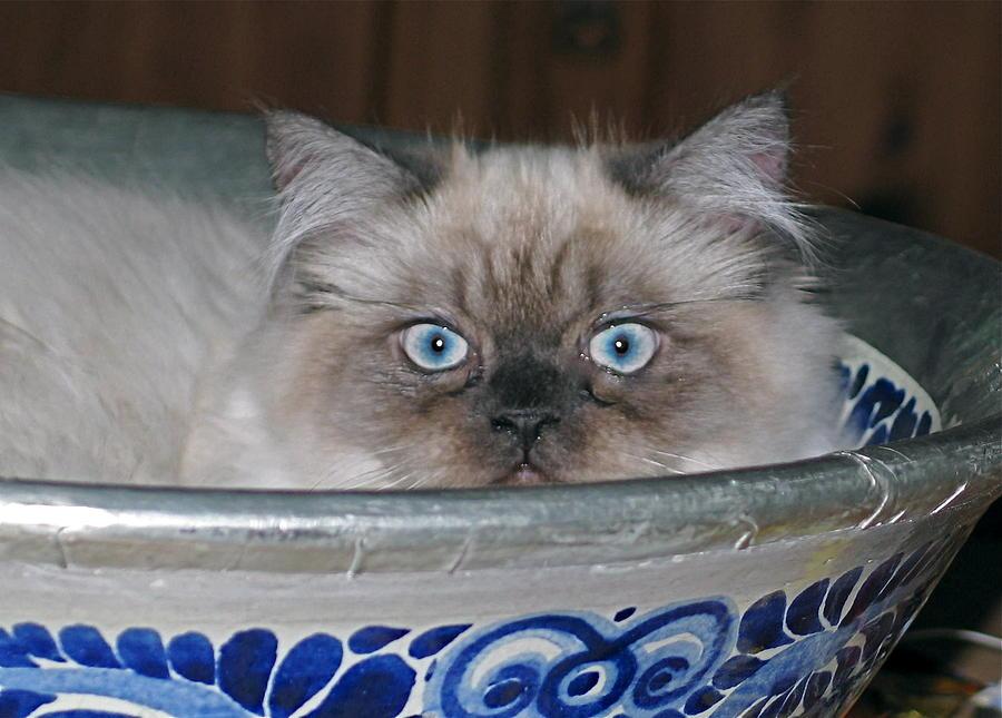 Cat Photograph - Old Blue Eyes by Inga Smith