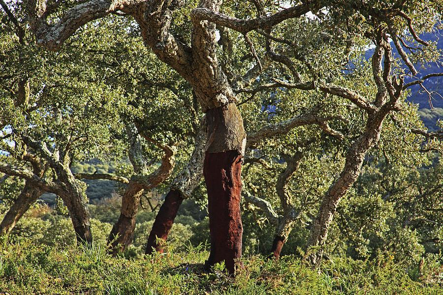 Old Cork Oak Tree Andalucia Spain Photograph By Peter Zoeller