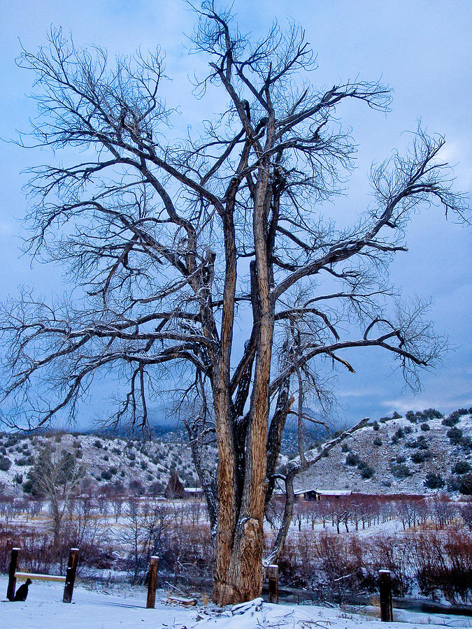 Old cottonwood by Atom Crawford
