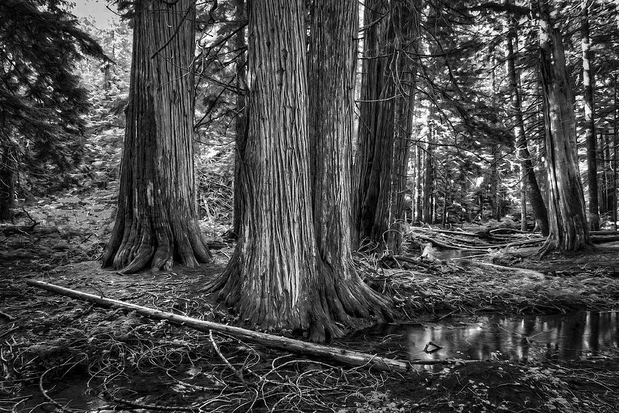 Trees Photograph - Old Growth Cedar Trees - Montana by Daniel Hagerman