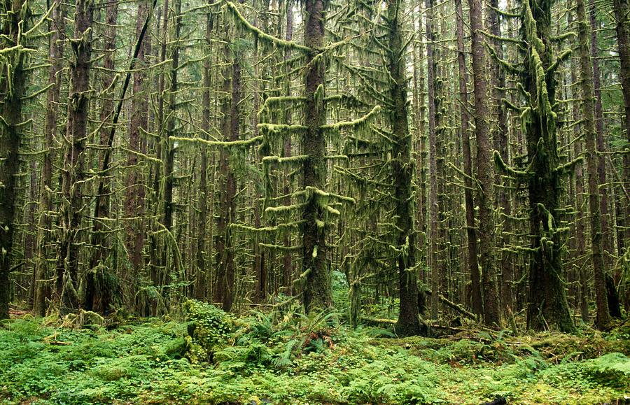 Outdoors Photograph - Old Growth Forest In The Hoh Rain by Natural Selection Craig Tuttle