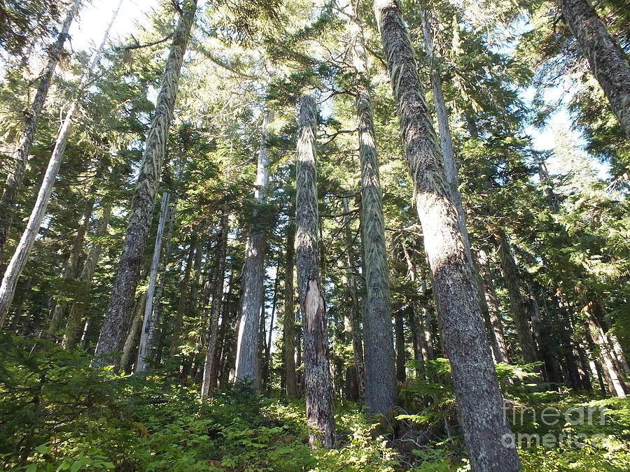 Old Growth Photograph - Old Growth Forest by Shannon Ireland