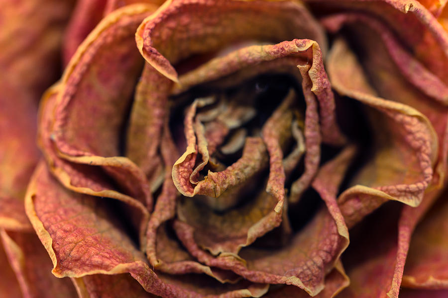 Blooming Flower Photograph - Old Rose by Daniel Kulinski