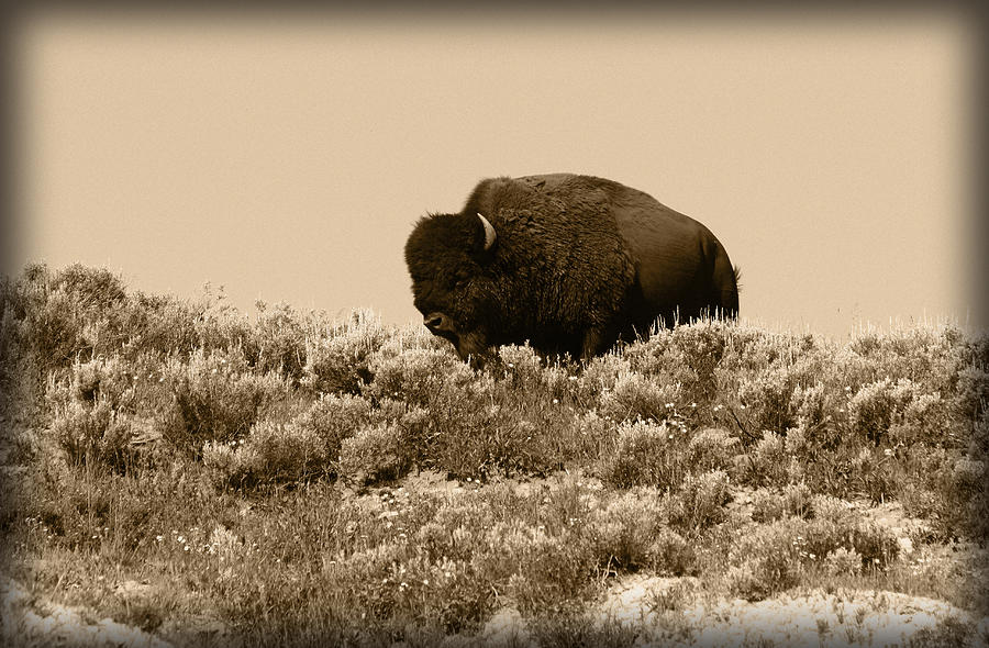 Buffalo Photograph - Old Timer by Shane Bechler