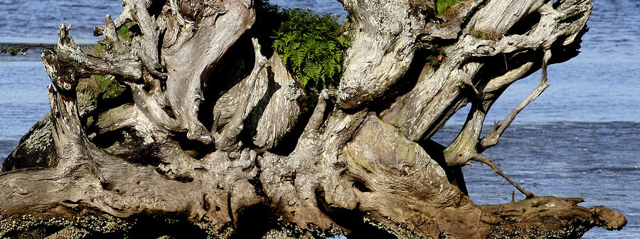 Tree Photograph - Old Tree  by Mary Gaines
