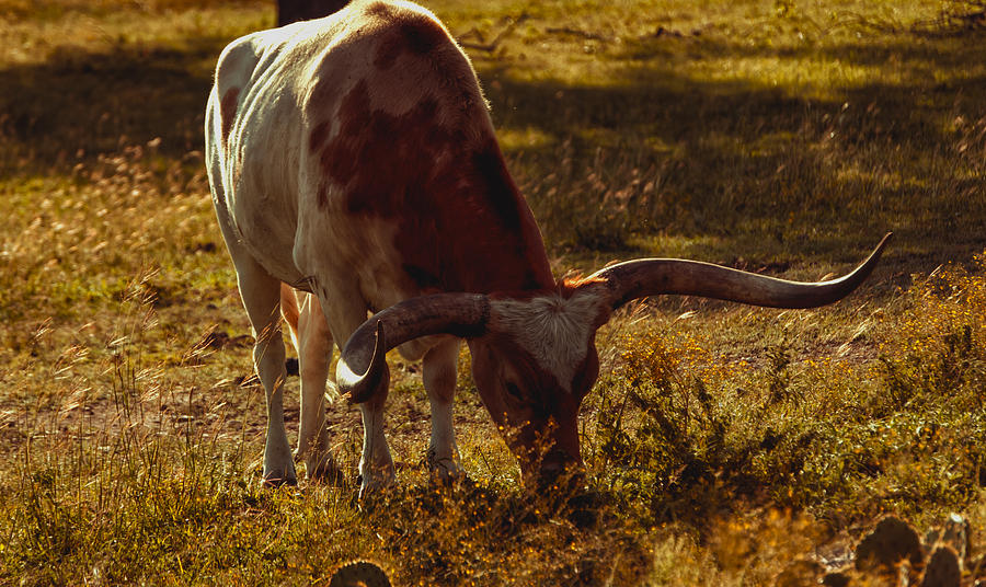 Agriculture Photograph - Older Texas Long Horn  by Kelly Rader