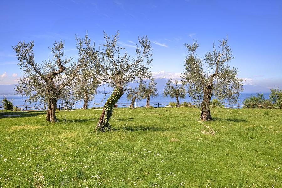 Sirmione Photograph - olive grove on Lake Gardan by Joana Kruse