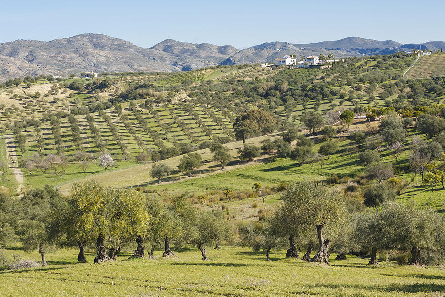 Horizontal Photograph - Olive Groves, Southern Spain. by Ken Welsh