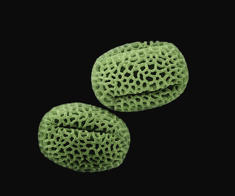 Mp Photograph - Olive Olea Europaea Sem 1400x by Albert Lleal