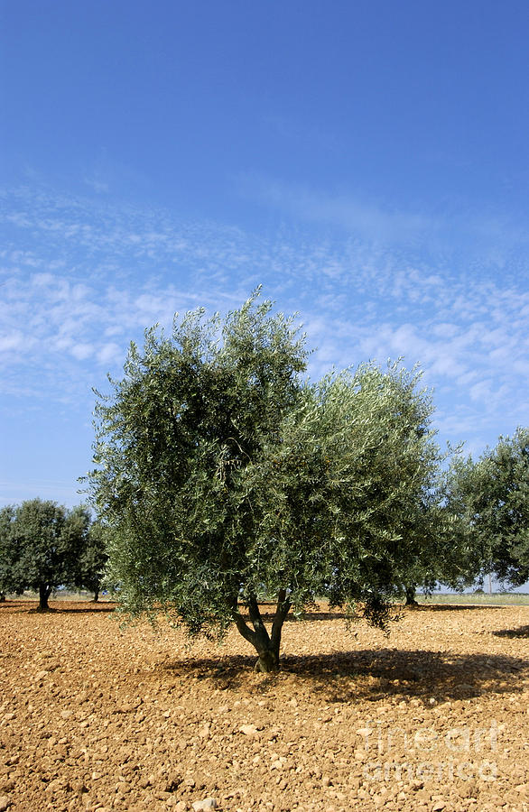 Agrarian Photograph - Olive Tree In Provence by Bernard Jaubert