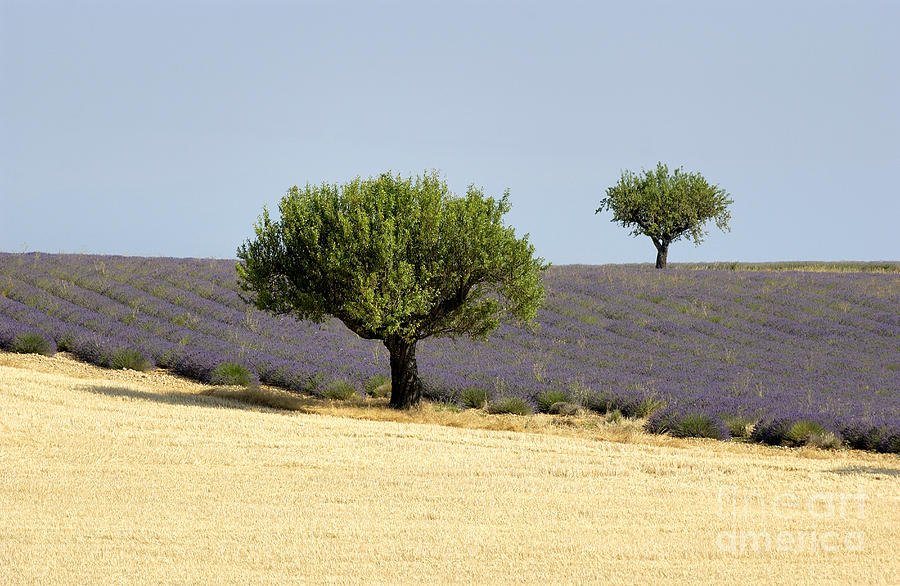A Visitor Photograph - Olives Tree In Provence by Bernard Jaubert