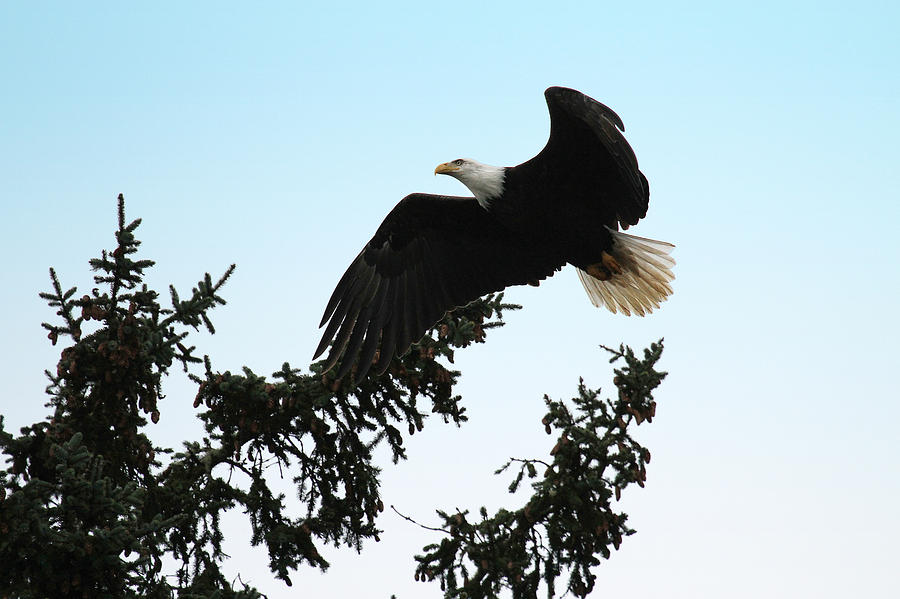 Bald Eagle Photograph - Olympic Bald Eagle by David Yunker