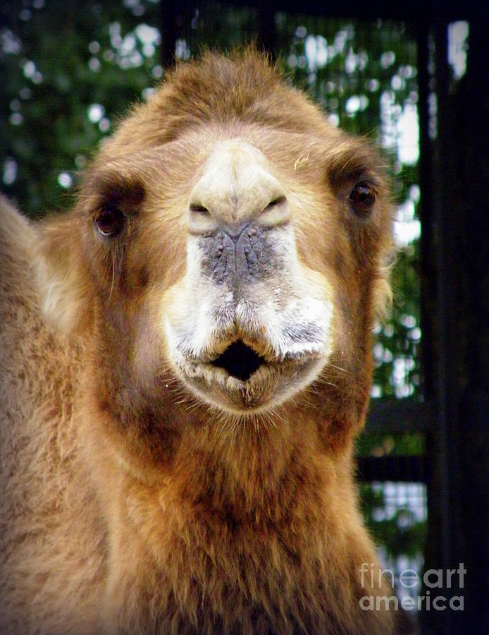 Camel Photograph - Omar The Camel by Lainie Wrightson
