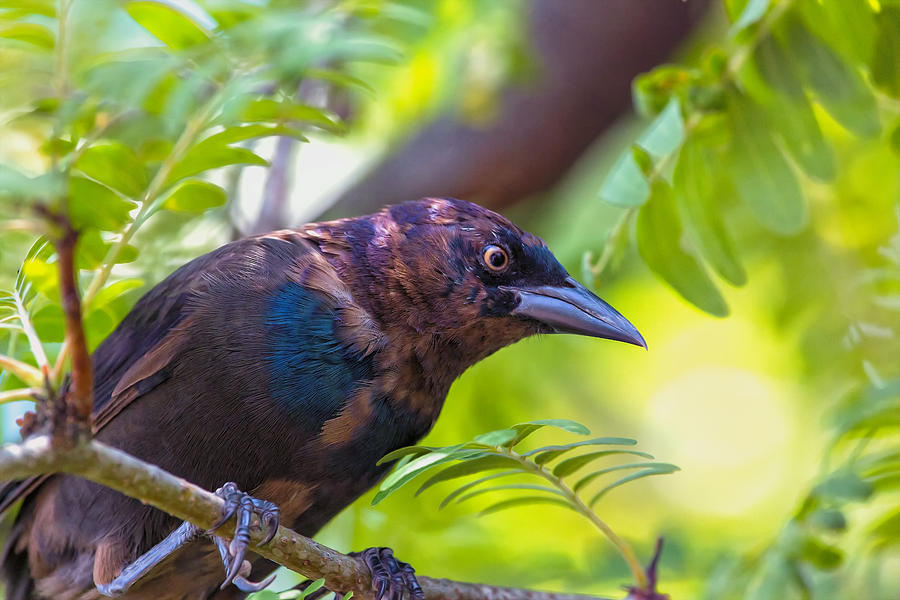 Grackle Photograph - Ominous Molting Grackle by Bill Tiepelman